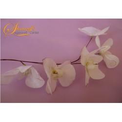 Клонка с орхидеи Moth